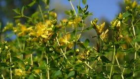 St John ` s wort, geneeskrachtige installatie met bloem op het gebied stock videobeelden