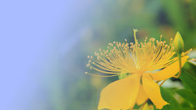 St John's wort is gorgeous. Plant、flowers、St John's wort、bright Stock Photography