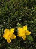 St. John's Wort on Grass Royalty Free Stock Photos