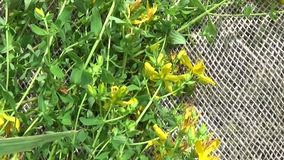 St. John`s wort grass collected in the field on the burlap. Harvesting of medicinal plants in summer. Panorama motion stock footage