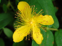 St. John's Wort Hypericum Stock Photos