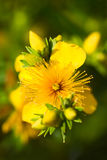 St. John's-wort or Hypericum Stock Photos