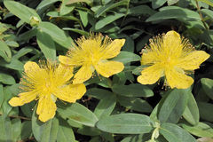 St. John's Wort, hypericum Royalty Free Stock Photo