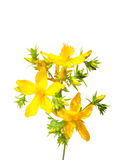 St. John's wort (Hypericum perforatum) Stock Photos