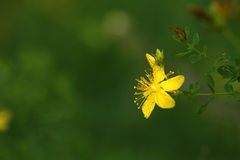 St. John 's wort  (Hypericum perforatum). St. John 's wort flower (Hypericum perforatum Stock Photography
