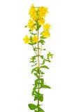 St. John's wort (Hypericum perforatum) flower Royalty Free Stock Photography