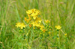 St. John's wort (Hypericum perforatum) flowers Royalty Free Stock Photos
