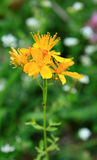 St John's wort. Hypericum perforatum Royalty Free Stock Photography