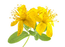 St. John's wort Royalty Free Stock Photos