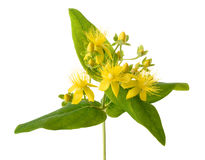St. John`s wort Royalty Free Stock Photography
