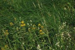 St John ` s Wort kwiaty Zdjęcie Royalty Free