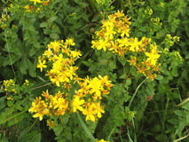 St  John s Wort made a hole. St John s Wort made a hole Royalty Free Stock Image
