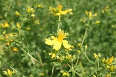 St John`s wort in the meadow stock photo