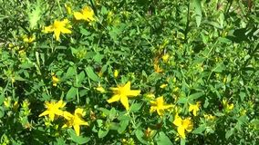 St. John`s wort, medicinal plant with flower in the field. stock video