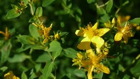 St. John`s wort, medicinal plant with flower in the field. stock video footage