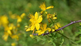 St. John s wort Stock Photography