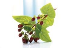 St. John´s Wort plant (Hypericum perforatum) Stock Photos