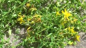St John ` s wort trawa zbierał w polu na burlap Zbierać lecznicze rośliny w lecie Panorama ruch zbiory