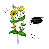 St. John s wort vector drawing set. Isolated hypericum wild flower and leaves. Herbal artistic style illustration. Royalty Free Stock Photography