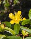 St. John`s Wort or Yellow Rose of Sharon, Hypericum calycinum, flower close-up, selective focus, shallow DOF Royalty Free Stock Image