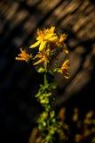 St. John wort, medicinal plant Royalty Free Stock Photos
