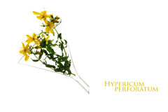 St john's wort (Hypericum perforatum) in a glass funnel, heilkra Stock Images