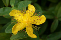 St Johns wort. Close up of St Johns wort flower Royalty Free Stock Image