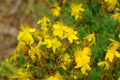 St Johns wort Royalty Free Stock Image