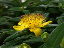St Johns Wort. The bright yellow, fully open flower of the St Johns Wort plant Royalty Free Stock Image