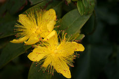 St Johns' wort. Close up of St Johns' wort flowers Royalty Free Stock Image