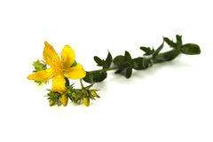 St.Johns wort Stock Photos
