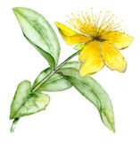 St Johns Wort Royalty Free Stock Photos