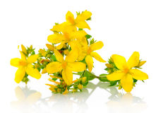St Johns wort Stock Photography