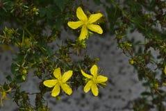 St Johns wort (Hypericum-perforatum) Stock Foto's
