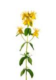 St Johns wort (Hypericum perforatum) Royalty Free Stock Photos
