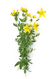 St Johns wort isolated Stock Images