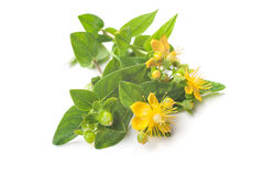 St Johns wort isolated Royalty Free Stock Images
