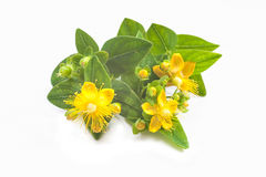 St Johns wort isolated Stock Photo
