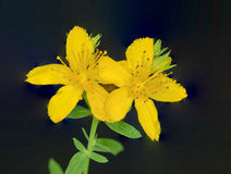 St. Johnswort Wild Flower Royalty Free Stock Photography