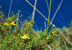 St Johnswort wildflowers Mallorca Royalty Free Stock Photography