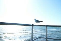 St Kilda Seagull de Austrália Melbourne Fotografia de Stock