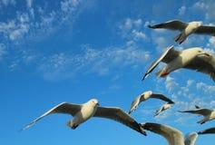 St Kilda Seagulls dell'Australia Melbourne Fotografia Stock