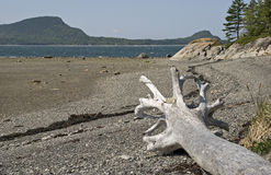 St. Lawrence River shore with dead tree Stock Images