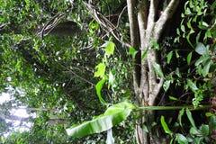 St Lucia floresta tropical dezembro de 2016 Foto de Stock Royalty Free