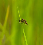 St. Lucia Widow Dragonfly Royalty Free Stock Images