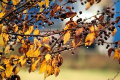 St Lucie Cherry Prunus mahaleb imagens de stock royalty free