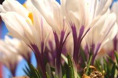 St?ng sig upp av vita blommor med solig klar dag f?r purpurf?rgade detaljer royaltyfri foto