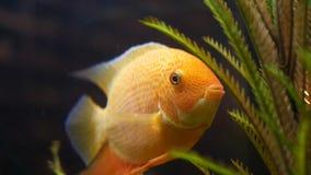 St?ng sig upp f?r guldfisk i akvariet med gr?na v?xter, husdjurbegrepp Ram H?rlig guld- fisk?ppning dess mun och arkivbild