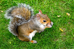 St oriental James Park London de Grey Squirrel (carolinensis do Sciurus) que come uma parte de maçã Fotografia de Stock Royalty Free