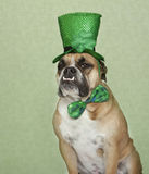 St. Patrick's Day Bulldog Portrait Stock Images